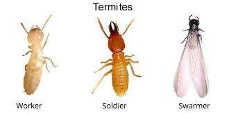 Termite Picture